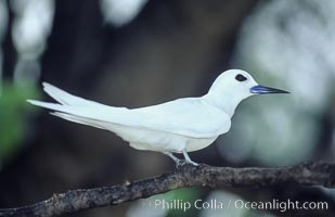 White (or fairy) tern. Rose Atoll National Wildlife Sanctuary, American Samoa, USA, Gygis alba, natural history stock photograph, photo id 00872