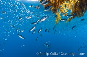 Half-moon perch and small baitfish school below offshore drift kelp, open ocean. San Diego, California, USA, Medialuna californiensis, natural history stock photograph, photo id 09994
