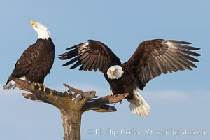 Two bald eagles on perch, one with wings spread as it has just landed and is adjusting its balance, the second with its head thrown back, calling vocalizing, Haliaeetus leucocephalus, Haliaeetus leucocephalus washingtoniensis, Kachemak Bay, Homer, Alaska