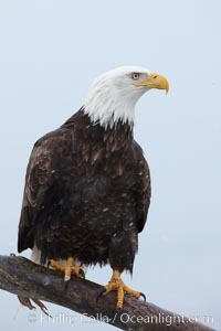 Bald eagle, side profile view, standing on wooden perch, Haliaeetus leucocephalus, Haliaeetus leucocephalus washingtoniensis, Kachemak Bay, Homer, Alaska