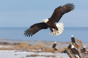 Bald eagle in flight over snow-dusted beach, Kachemak Bay, Haliaeetus leucocephalus, Haliaeetus leucocephalus washingtoniensis, Homer, Alaska