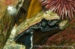 Red abalone eats Macrocystis kelp blade, Haliotis rufescens