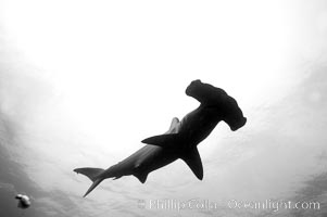 Scalloped hammerhead shark, black and white / grainy. Darwin Island, Galapagos Islands, Ecuador, Sphyrna lewini, natural history stock photograph, photo id 16264