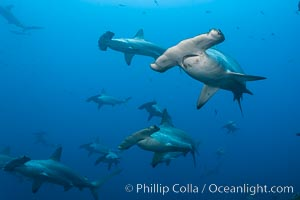 Hammerhead sharks swim in a school underwater at Wolf Island in the Galapagos archipelago.  The hammerheads eyes and other sensor organs are placed far apart on its wide head to give the shark greater ability to sense the location of prey, Sphyrna lewini