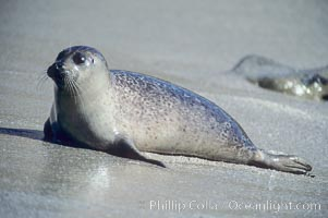 A Pacific harbor seal hauls out on a sandy beach.  This group of harbor seals, which has formed a breeding colony at a small but popular beach near San Diego, is at the center of considerable controversy.  While harbor seals are protected from harassment by the Marine Mammal Protection Act and other legislation, local interests would like to see the seals leave so that people can resume using the beach., Phoca vitulina richardsi,  Copyright Phillip Colla, image #01925, all rights reserved worldwide.