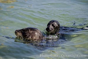 A mother Pacific harbor seal and her newborn pup swim in the protected waters of Childrens Pool in La Jolla, California.  This group of harbor seals, which has formed a breeding colony at a small but popular beach near San Diego, is at the center of considerable controversy.  While harbor seals are protected from harassment by the Marine Mammal Protection Act and other legislation, local interests would like to see the seals leave so that people can resume using the beach., Phoca vitulina richardsi,  Copyright Phillip Colla, image #02134, all rights reserved worldwide.