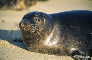 This Pacific harbor seal has an ear with no external ear flaps, marking it as a true seal and not a sea lion.  La Jolla, California.  This group of harbor seals, which has formed a breeding colony at a small but popular beach near San Diego, is at the center of considerable controversy.  While harbor seals are protected from harassment by the Marine Mammal Protection Act and other legislation, local interests would like to see the seals leave so that people can resume using the beach, Phoca vitulina richardsi, copyright Phillip Colla Natural History Photography, www.oceanlight.com, image #02136, all rights reserved worldwide.