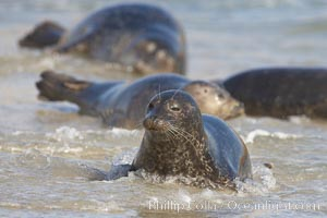 Pacific harbor seals on sandy beach at the edge of the ocean, Phoca vitulina richardsi, La Jolla, California