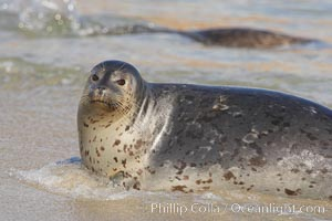 Pacific harbor seal washed by the ocean on sandy beach, Phoca vitulina richardsi, La Jolla, California