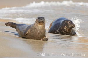 Pacific harbor seals on sandy beach at the edge of the ocean, Phoca vitulina richardsi, La Jolla, California
