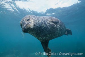 Pacific harbor seal swims in the protected waters of Childrens Pool in La Jolla, California.  This group of harbor seals, which has formed a breeding colony at a small but popular beach near San Diego, is at the center of considerable controversy.  While harbor seals are protected from harassment by the Marine Mammal Protection Act and other legislation, local interests would like to see the seals leave so that people can resume using the beach, Phoca vitulina richardsi