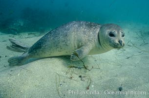 Pacific harbor seal swims in the protected waters of Childrens Pool in La Jolla, California.  This group of harbor seals, which has formed a breeding colony at a small but popular beach near San Diego, is at the center of considerable controversy.  While harbor seals are protected from harassment by the Marine Mammal Protection Act and other legislation, local interests would like to see the seals leave so that people can resume using the beach., Phoca vitulina richardsi,  Copyright Phillip Colla, image #03016, all rights reserved worldwide.