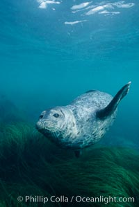 A Pacific harbor seal swims over surf grass in the protected waters of Childrens Pool in La Jolla, California.  This group of harbor seals, which has formed a breeding colony at a small but popular beach near San Diego, is at the center of considerable controversy.  While harbor seals are protected from harassment by the Marine Mammal Protection Act and other legislation, local interests would like to see the seals leave so that people can resume using the beach, Phoca vitulina richardsi, copyright Phillip Colla Natural History Photography, www.oceanlight.com, image #03019, all rights reserved worldwide.
