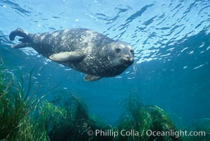 A Pacific harbor seal swims over surf grass in the protected waters of Childrens Pool in La Jolla, California.  This group of harbor seals, which has formed a breeding colony at a small but popular beach near San Diego, is at the center of considerable controversy.  While harbor seals are protected from harassment by the Marine Mammal Protection Act and other legislation, local interests would like to see the seals leave so that people can resume using the beach, Phoca vitulina richardsi