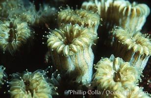 Hard coral polyps, Roatan