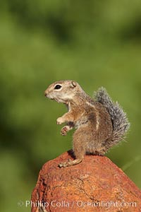 Harris&#39; antelope squirrel, Ammospermophilus harrisii, Amado, Arizona