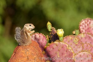 Harris' antelope squirrel. Amado, Arizona, USA, Ammospermophilus harrisii, natural history stock photograph, photo id 22982