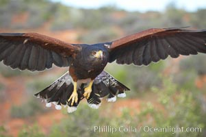 Harris hawk in flight, Parabuteo unicinctus