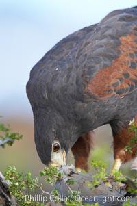 Harris hawk devours a dove, Parabuteo unicinctus