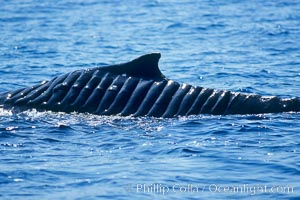 North Pacific humpback whale showing extensive scarring, almost certainly from a boat propeller, on dorsal ridge., Megaptera novaeangliae,  Copyright Phillip Colla / HWRF, image #05910, all rights reserved worldwide. This photograph was taken during Hawaii Whale Research Foundation research activities conducted under NOAA/NMFS and State of Hawaii permit.  Its use is subject to certain restrictions.  Please contact the photographer for more information.