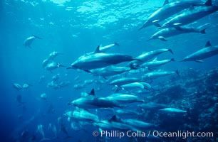 Hawaiian spinner dolphin, resting herd swimming along reef, Stenella longirostris, Lanai