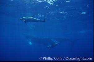 Spinner dolphins (2) alongside humpback whales, Stenella longirostris, Megaptera novaeangliae, Maui
