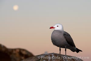 Heermanns gull, moon setting, sunrise, Larus heermanni, La Jolla, California