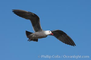 Heermanns gull in flight. La Jolla, California, USA, Larus heermanni, natural history stock photograph, photo id 18273