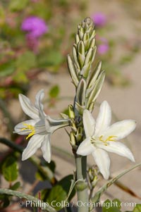 Desert Lily blooms in the sandy soils of the Colorado Desert.  It is fragrant and its flowers are similar to cultivated Easter lilies, Hesperocallis undulata, Anza-Borrego Desert State Park, Borrego Springs, California