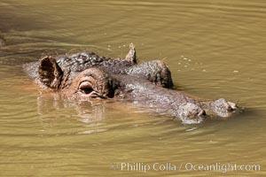 Hippopotamus, Meru National Park, Kenya. Meru National Park, Kenya, Hippopotamus amphibius, natural history stock photograph, photo id 29663