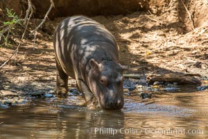 Hippopotamus, Meru National Park, Kenya. Meru National Park, Kenya, Hippopotamus amphibius, natural history stock photograph, photo id 29664