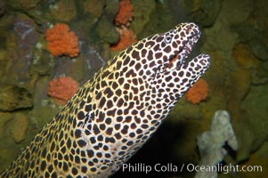 Honeycomb moray eel (tesselate moray)., Gymnothorax favagineus, natural history stock photograph, photo id 12920