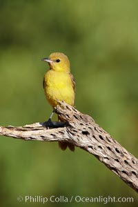 Hooded oriole, female, Icterus cucullatus, Amado, Arizona