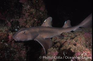 Horn shark, Heterodontus francisci, Guadalupe Island (Isla Guadalupe)