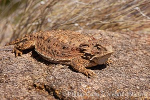 Horned lizard.  When threatened, the horned lizard can squirt blood from its eye at an attacker up to 5 feet away. Amado, Arizona, USA, Phrynosoma, natural history stock photograph, photo id 22964