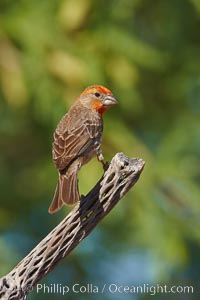 House finch, immature, Carpodacus mexicanus, Amado, Arizona