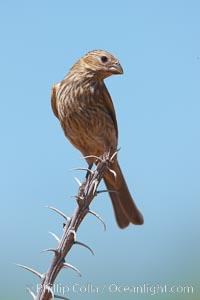 House finch, female, Carpodacus mexicanus, Amado, Arizona