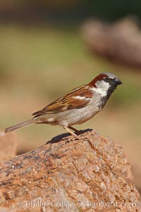 House sparrow, breeding male, Passer domesticus, Amado, Arizona