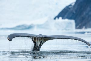 Humpback whale in Antarctica.  A humpback whale swims through the beautiful ice-filled waters of Neko Harbor, Antarctic Peninsula, Antarctica. Neko Harbor, Antarctic Peninsula, Antarctica, Megaptera novaeangliae, natural history stock photograph, photo id 25670