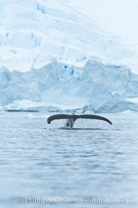 Humpback whale in Antarctica.  A humpback whale swims through the beautiful ice-filled waters of Neko Harbor, Antarctic Peninsula, Antarctica, Megaptera novaeangliae