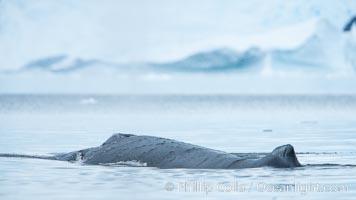 Humpback whale in Antarctica, Megaptera novaeangliae, Neko Harbor