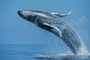 Natural history stock photographs of humpback whales, Megaptera novaeangliae, in Hawaii, California, Alaska and Antarctica. Humpback whale research and behavior images from Hawaii by permission of NOAA and State of Hawaii scientific research permit.