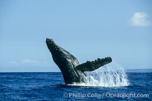 Humpback whale breaching. Maui, Hawaii, USA, Megaptera novaeangliae, natural history stock photograph, photo id 00214