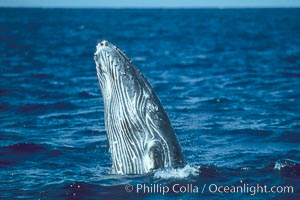 Humpback whale calf breaching, Megaptera novaeangliae, Maui