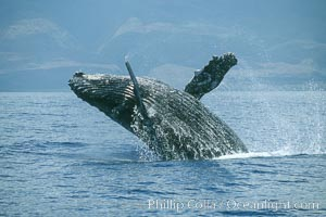 Humpback whale breaching, Megaptera novaeangliae, Maui