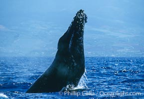 Humpback whale performing a head slap. Maui, Hawaii, USA, Megaptera novaeangliae, natural history stock photograph, photo id 03886