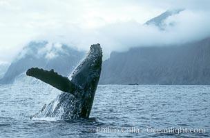 Humpback whale breaching, Megaptera novaeangliae, Molokai