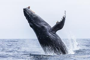 Humpback whale breaching, pectoral fin and rostrom visible. San Diego, California, USA, Megaptera novaeangliae, natural history stock photograph, photo id 27958