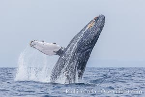 Humpback whale breaching, pectoral fin and rostrom visible. San Diego, California, USA, Megaptera novaeangliae, natural history stock photograph, photo id 27959