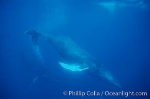 North Pacific humpback whale, cow in active group, escort bubble trailing, Megaptera novaeangliae, Maui